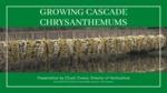 Growing Cascade Chrysanthemums